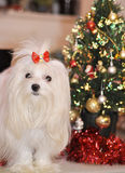 Maltese dog on the background of the Christmas tree. Maltese dog on the background  of the Christmas tree Stock Image