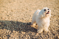 Maltese dog on the beach Royalty Free Stock Image