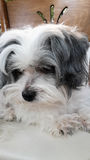 Maltese dog. A beautiful Maltese dog head portrait of a little pretty white and gray Royalty Free Stock Photo