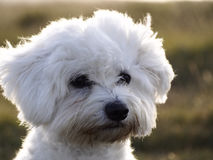 Maltese dog. Beautiful White maltese dog in a park Royalty Free Stock Images
