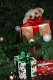 Maltese Dog and Big Christmas Present. A Maltese dog is checking the big present prepared for Christmas Stock Photo