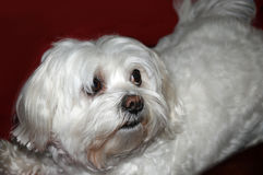Maltese dog. With big eyes Stock Photos