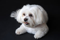 Maltese dog. With big eyes, 9 years old Stock Photos