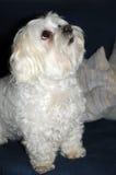 Maltese dog. With big eyes, 9 years old Stock Photo