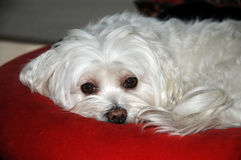 Maltese dog. With big eyes, 9 years old lying on a red pillow Royalty Free Stock Photos