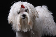 Maltese Dog on black. A cute white Maltese dog with red ribbon looking at the camera against a black background Royalty Free Stock Photo