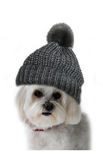Maltese dog with bobble hat Stock Images