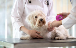 Maltese dog with broken paw in vet infirmary. Sad little Maltese dog with broken paw in vet infirmary Royalty Free Stock Photo