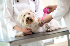 Maltese dog with broken paw in vet infirmary Stock Photography