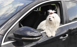 Maltese dog in the car looking out the window. Maltese dog in the  car looking out the window Royalty Free Stock Images