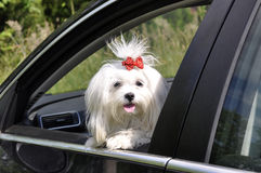 Maltese dog in the car looking out the window. Maltese dog in the  car looking out the window Stock Photos