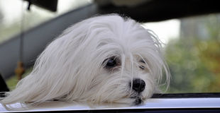Maltese dog in the car looking out the window. Maltese dog in the car looking out the  window Royalty Free Stock Photo