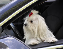 Maltese dog in the car looking out the window. Maltese dog in the car looking out the  window Royalty Free Stock Photography