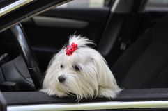 Maltese dog in the car looking out the window. Maltese dog in the car looking out the  window Stock Image