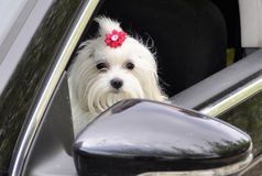 Maltese dog in the car looking out the window. Maltese dog in the car looking out the  window Stock Images