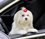 Maltese dog in the car looking out the window. Maltese dog in the car looking out the  window Royalty Free Stock Image