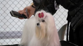 Maltese dog on competition stock footage