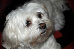 Maltese dog. Cute maltese dog with big eyes, nine years old Stock Photo