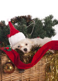 Maltese dog in decorated Stock Image