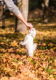 Maltese dog is eating food. Royalty Free Stock Photos