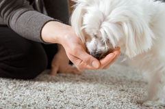Maltese dog is eating. From hand Stock Images