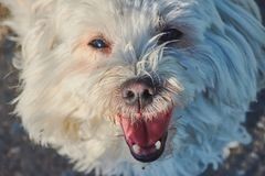 Maltese dog face looking directly into the camera. White beautiful maltese dog is looking directly into the camera with open mouth Stock Images