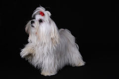 Maltese Dog with foot raised. A cute white Maltese dog with red ribbon standing up with one front paw raised against a black background Royalty Free Stock Image