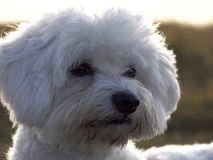 Maltese dog. Foreground of white maltese dog Stock Photo