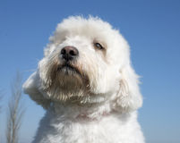 Maltese dog. In front of a blue sky Stock Photos
