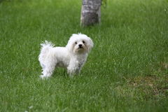 Maltese dog. On the garden Royalty Free Stock Photography