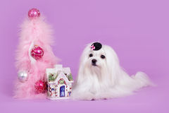 Maltese dog in hat Christmas Stock Image