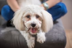 Maltese dog at home. White maltese puppy dog at home with its young boy owner Stock Photo