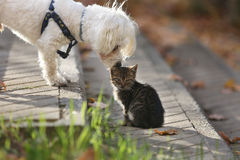 Maltese dog kissing small cat kitten in head. White Maltese dog kissing small cat kitten in head on sun day Royalty Free Stock Photos
