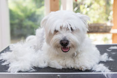 Maltese dog is laying next to pile of hair. White Maltese dog is laying on the grooming table next to pile of hair and is looking at the camera Stock Image