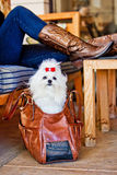 Maltese Dog in Leather Carrying Case. Maltese dog in a brown leather travel bag sitting on the floor next to a woman sitting with her feet propped up on a table Stock Photography