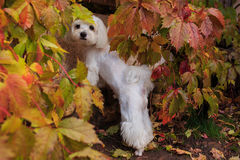 Maltese dog looking at the camera in the autumn wood Stock Photos