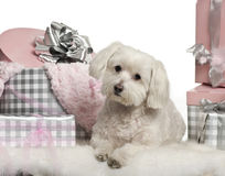 Maltese dog lying with Christmas gifts. In front of white background Stock Photo