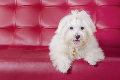 Maltese dog lying on the sofa Royalty Free Stock Photography