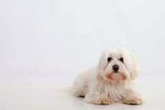 Maltese dog Royalty Free Stock Images
