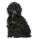 Maltese dog mixed with a Poodle, 11 years old. Sitting in front of white background Royalty Free Stock Images
