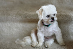 Maltese dog modeling Stock Photos