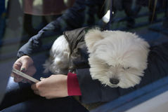 Maltese dog at Moscow tramway parade - 2017. MOSCOW - APRIL 15, 2017: Maltese dog at Moscow tramway parade - 2017 on Chistiye prudy in Moscow. Show of retro and Stock Photography