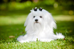 Maltese dog outdoors. White maltese dog outdoors in summer Stock Photos