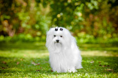 Maltese dog outdoors. White maltese dog outdoors in summer Royalty Free Stock Photo
