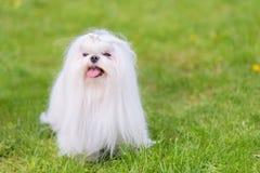Maltese  dog in the park. Maltese dog in the green park. Dog portrait Royalty Free Stock Photo