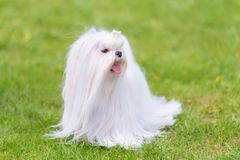 Maltese  dog in the park. Maltese dog in the green park. Dog portrait Royalty Free Stock Photography