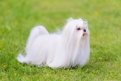 Maltese  dog in the park. Maltese dog in the green park. Dog portrait Royalty Free Stock Photos