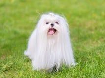 Maltese  dog in the park. Maltese dog in the green park. Dog portrait Stock Photography