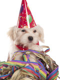 Maltese dog with party hat. With white background Stock Images