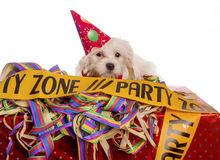 Maltese dog with party hat. With white background Stock Photography